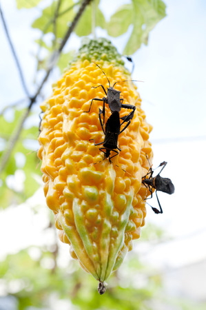 Leptoglossus australis feeding off the fruit of Bitter gourd