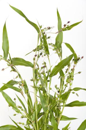Job's tears (coix lachryma-jobi) of wild grass on white background