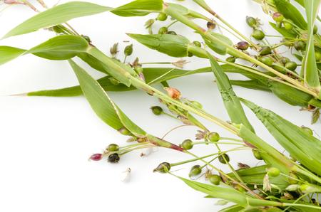 Jobs tears (coix lachryma-jobi) of wild grass on white background Stok Fotoğraf