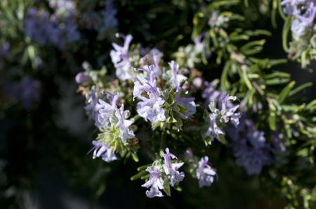 Fresh Rosemary Herb grow outdoor... Rosemary flower Close-up. Stock Photo