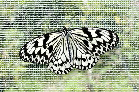 Butterfly nymph (Idea leuconoe)