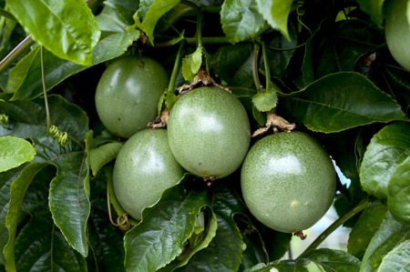 Passion fruit young fruits (not ripe yet)