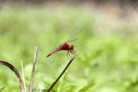 Red dragonfly (Crocothemis servilia)