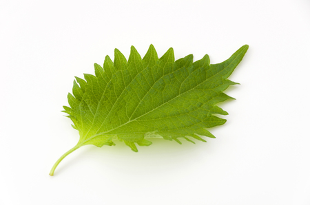 fresh green shiso leaf on white background Фото со стока
