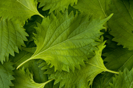 fresh green shiso leaf background