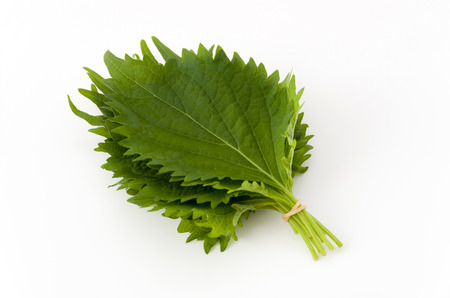 fresh green shiso leaf on white background Stock Photo