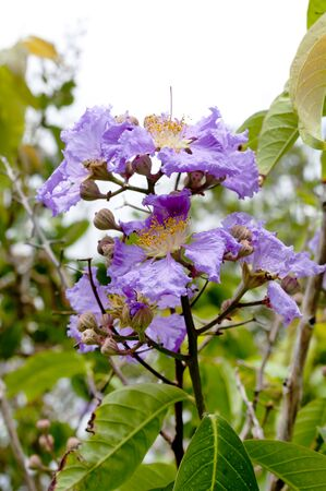 color Violet of Queen's crape myrtle flower.