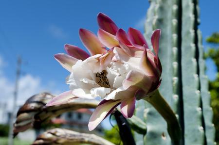 Cereus peruvianus flower