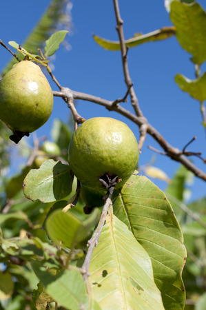guava fruits on a tree