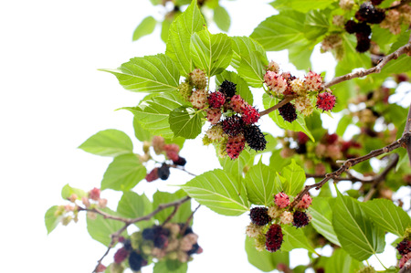 Fresh mulberry fruits on the branch of the mulberry tree.