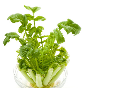 reborn vegetable regenerated vegetables Japanese radish