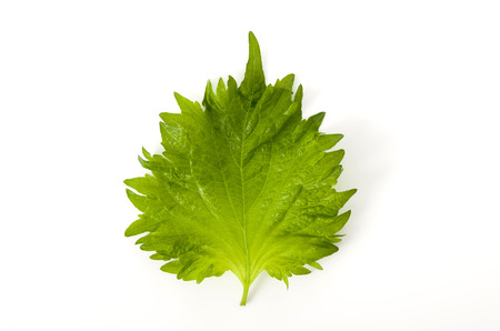 fresh green shiso (perilla) or oba leaf in transparent plastic bag on white background