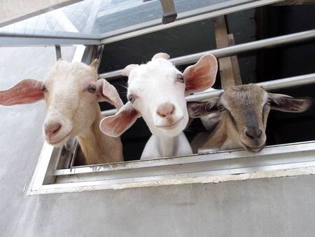 The Goats showed its face from Goat House. Goats looks out of the window Reklamní fotografie