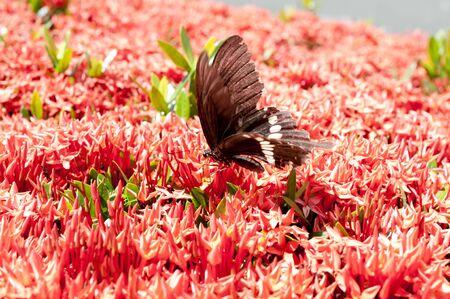 Flowers and Butterfly, Beautiful Red Bunga Soka or Asoka or King Ixora flower chinensis. Red spike flower, Rubiaceae, Ixora coccinea, soka.