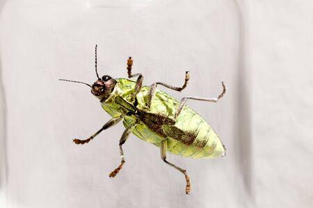 Jewel beetle, Buprestidae, Chrysodema dalmanni 스톡 콘텐츠