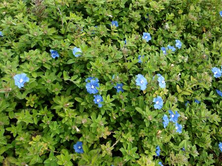 Small blue flowers bloom ( Evolvulus pilos or Evolvulus glomeratus ) 写真素材 - 138835527