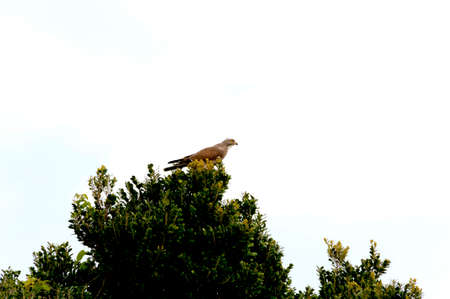 Sashiba (Gray faced buzzard) is relaxing on the top of tree