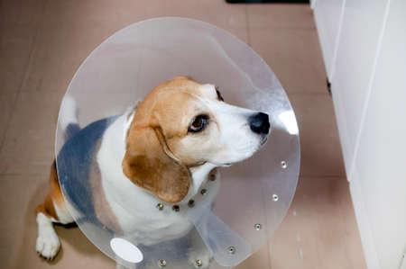 Beagle dog wearing an Elizabethan collar