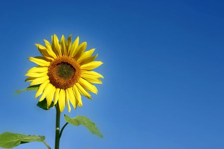 Beautiful Sunflower and a blue sky Stock Photo - 594144