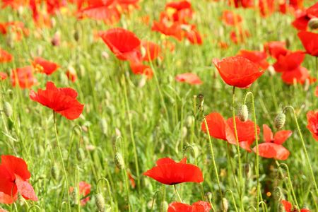 toskana: corn poppy - Tuscany Stock Photo