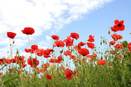 toskana: corn poppy and a blue sky - Tuscany