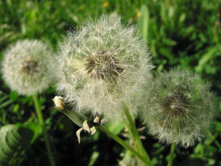 blowball: Flower blowball dandelion