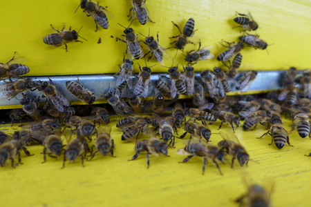 swarm: Bees in a yellow hive enter swarm