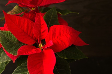 Christmas red star flower, poinsettia, soft focus with copy space