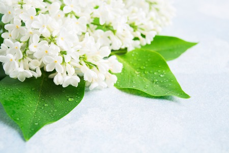 Spring white lilac with leaves on blue background. Mock up for spa or aroma product. Beautiful flower with copy space. Nature background