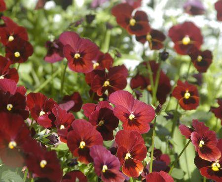 Red Pansies Фото со стока