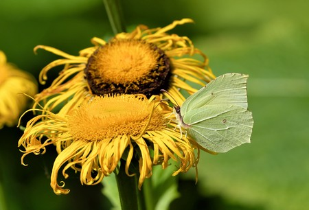 brimstone butterfly on yellow flower Stock Photo
