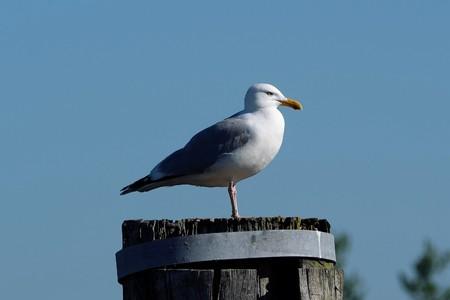 Herring gull on bollard