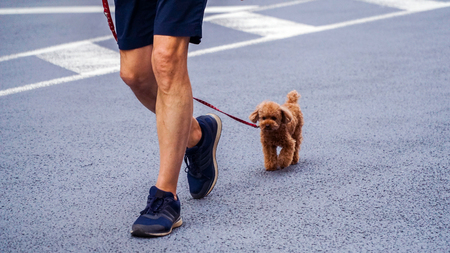 GINZA, TOKYO / JAPAN - APRIL 22, 2018: A cute little puppy jogging with his human friend. 免版税图像