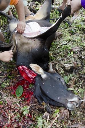 KELANTAN, MALAYSIA - NOVEMBER 06: unidentified Malaysian Muslims help in slaughtering a cow during Eid Al-Adha Al Mubarak, the Feast of Sacrifice November 06, 2011 in Kuantan, Malaysia.