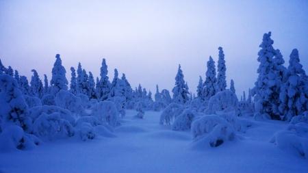 laden: Heavily snow laden trees in Sweden during winter