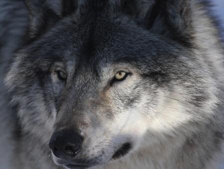 gray wolf Stock Photo - 9203285