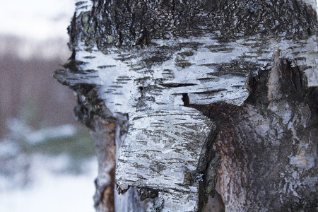 deciduous, frozen and beautiful tree trunk