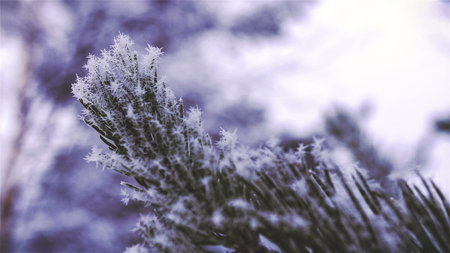 scots: Scots pine needles with snowflakes on them. Close-up of rime frost  hoarfrost snowflakes.