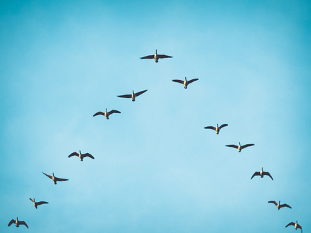 A flock skein of Canada geese flying in V formation for effective energy conservation. Vintage look. Location: Lund, southern Sweden. Stock Photo