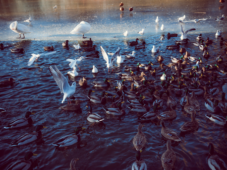 All the birds go crazy at a feeding frenzy in the duck pond in The City Park Stadsparken in Lund, Sweden. Its cold, theres ice on the water and theres lots of competition for the food. Stock Photo