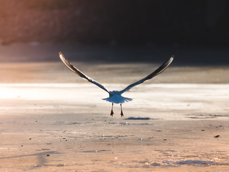 winter escape: A seagull is taking off into flight in the evening sun before sunset from the ice of a frozen pond in Lund, Sweden. Pure freedom.