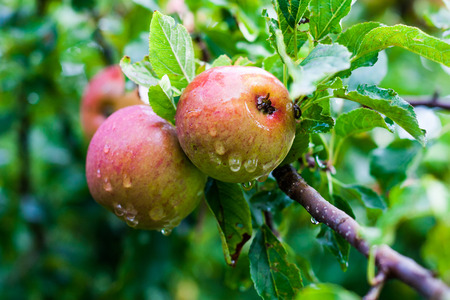 crab apple tree: Delicious wild apples with water drops on a branch of an apple tree.