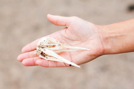 cranium: A female hand is holding a bird skull  cranium that was found on the ground. Stock Photo
