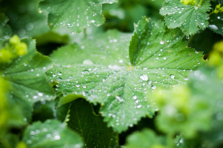 rainfall: Macro close-up of green lush leaves with beautiful water drops on them after heavy rainfall. Stock Photo
