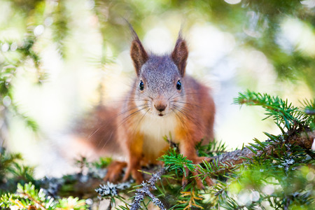 A very cute red Scandinavian squirrel portrait. Its sitting on a branch of a pine tree staring right into the camera.