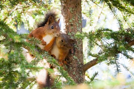 아주 귀여운 빨간색 스 칸디 나 비아 다람쥐 아기가 다른 다람쥐 키스입니다. 순수한 사랑.