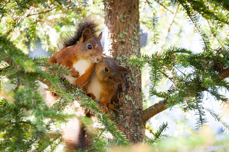 A very cute red Scandinavian squirrel baby is kissing another squirrel. Pure love. Фото со стока - 50533915