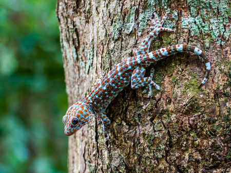 tokay gecko: A beautiful Tokay gecko sitting on a tree in the wild at dusk. Location: Langkawi, Malaysia.