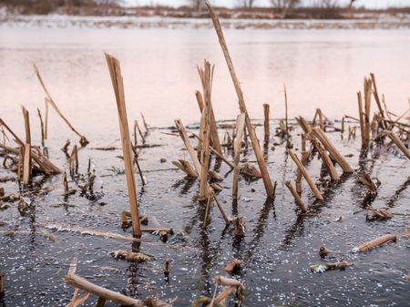 bulrush: Winter landscape with Common bulrush Typha latifolia, or broadleaf cattail in a frozen ice lake in the Swedish winter January 2016. Location: Lund, Sweden.