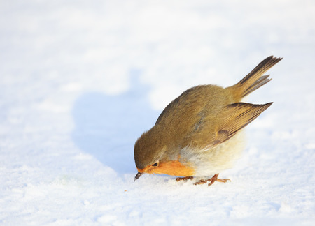 rubecula: A cute and colorful European robin Erithacus rubecula is looking at a seed in the snow before eating it. Location: Lund, Sweden.